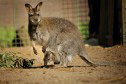 kangaroos en wallabies
