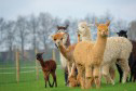 llamas, alpacas and camels