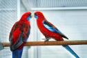large parakeets