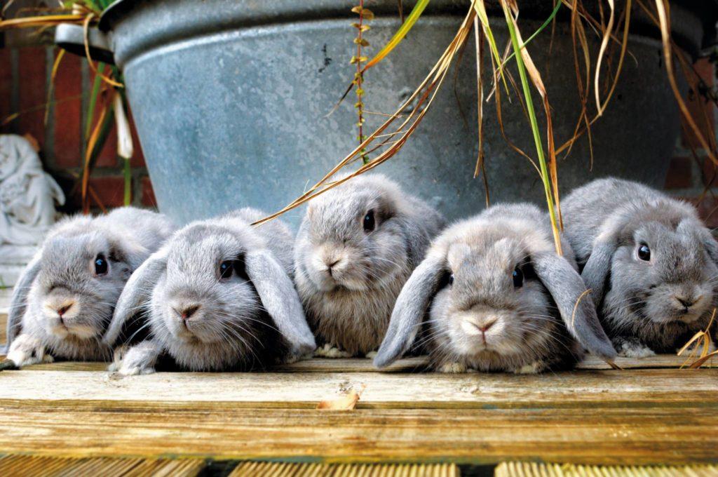 konijnen op een rij, emmer, hangoren, grijs, blauw, op tafel