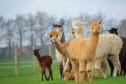 lama's, alpaca's en kamelen