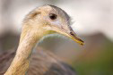 nandoes, emoes en struisvogels