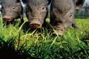 hobbyvarkens en hangbuikzwijnen