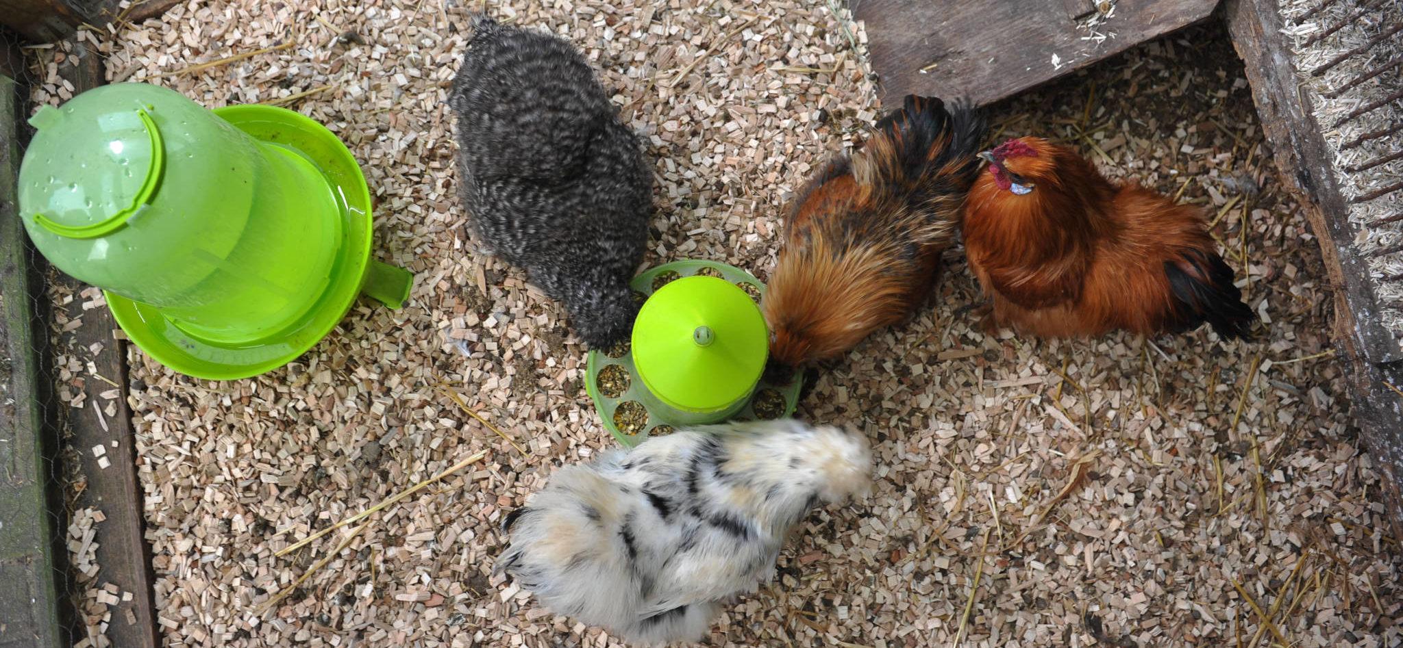 kippen in hok